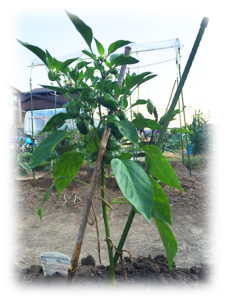 green pepper 0617
